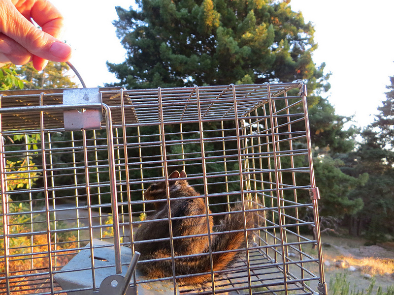 Chipmunk Trapping