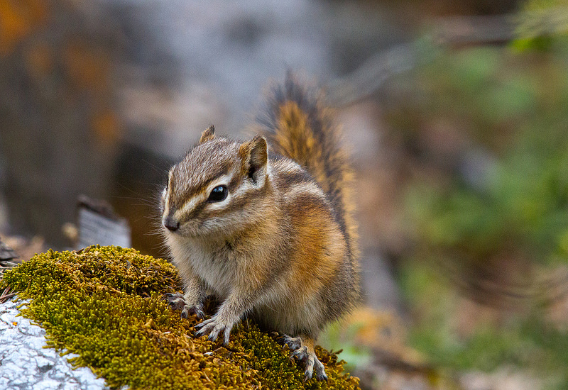 Chipmunk Exclusion