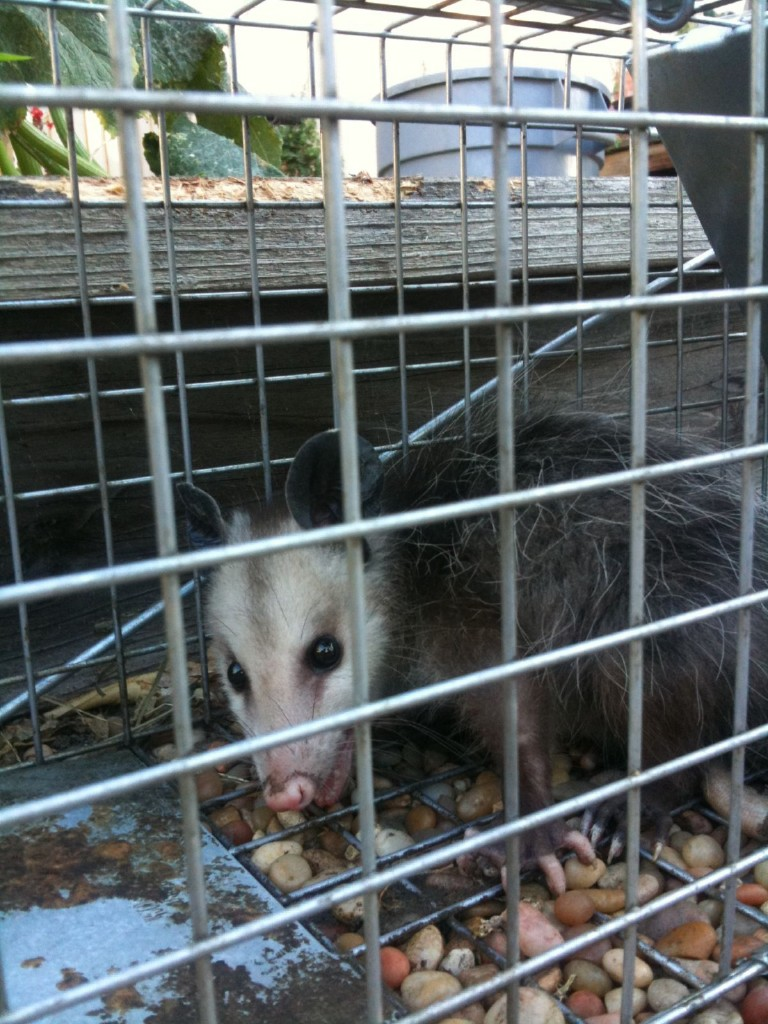 how to catch a possum without a trap