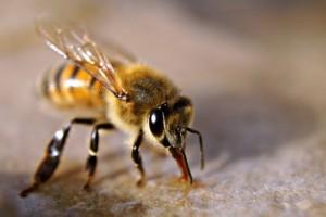 bee diseases