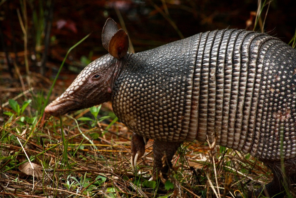 Armadillo Removal Anytime Wildlife