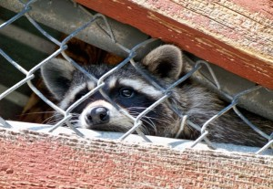 Raccoon Removal Gainesville FL