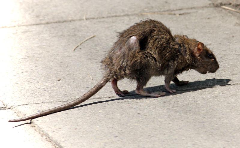 Rat Diseases