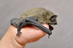 Bat Control in Holyoke MA