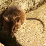 Rodent removal in Holyoke Massachusetts