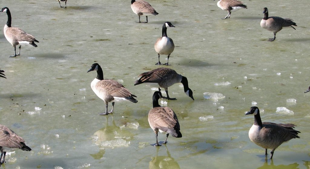 geese-14602