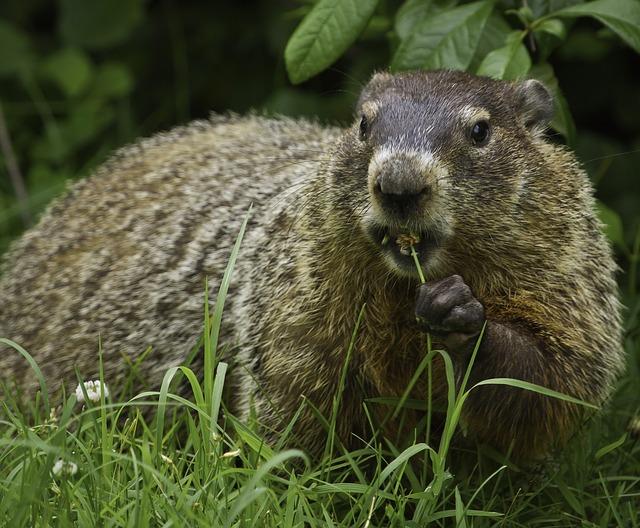 groundhog-956701_640