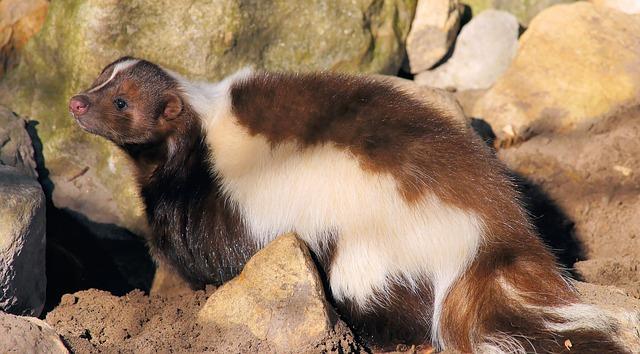 skunk-689181_640