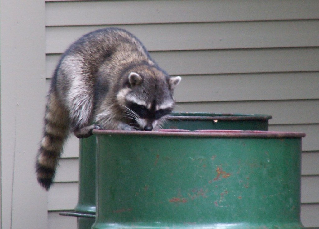 Raccoon Behavior