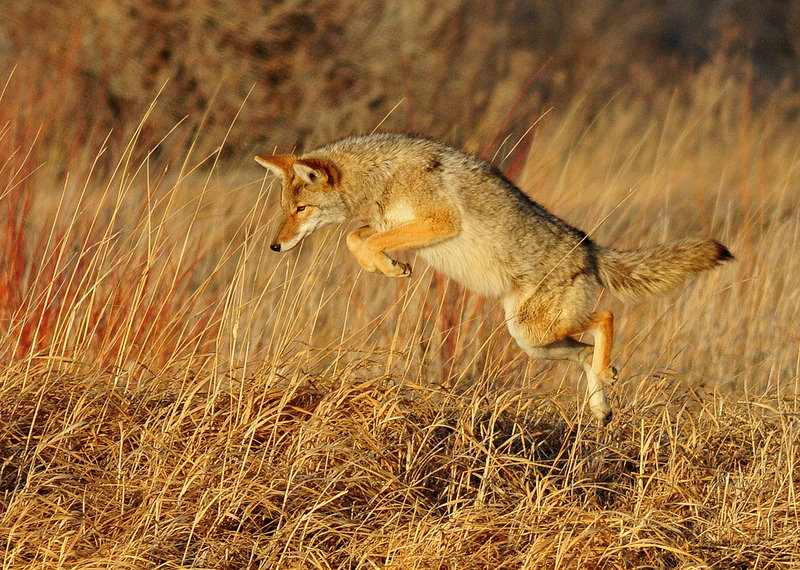 Coyote Removal