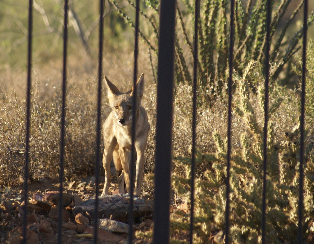 Coyote Exclusion