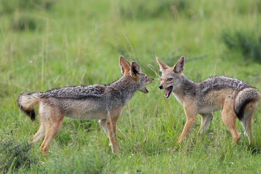 Behavior of Coyote