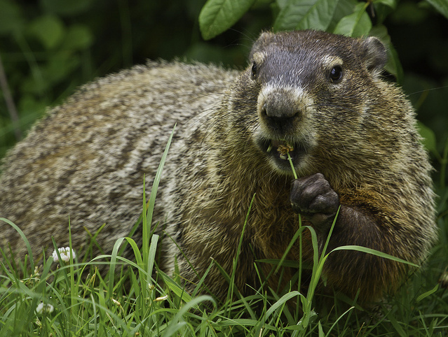 Groundhog Exclusion