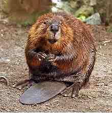 Beaver Removal in Ozark AL