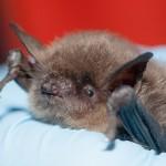 Bat Removal in Ogden Dunes