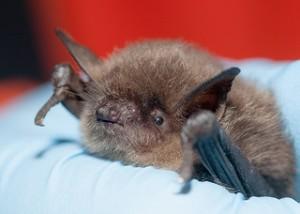 Bat Removal in Dyer