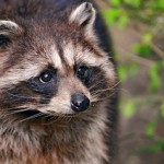 Raccoon Removal in Dune Acres