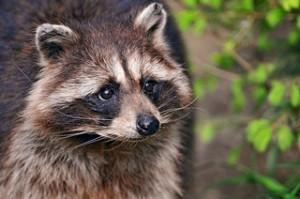Raccoon Removal in Hobart