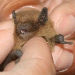Bat Removal in Dune Acres