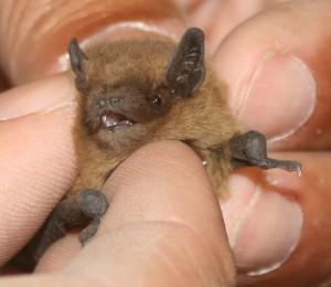 Bat Removal in Montgomery County Al