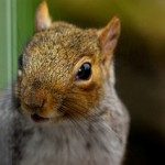 Squirrel Trapping and Squirrel Removal in Merrillville IN