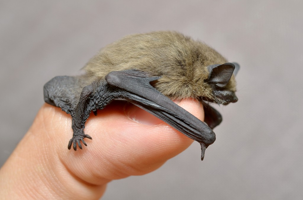 Bat Removal in Chicopee MA