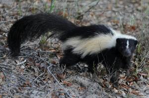 Skunk Removal in Talladega Alabama