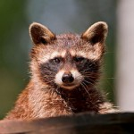 Raccoon Removal in Portage