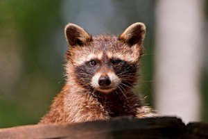 Dyer IN Wildlife Removal Services: