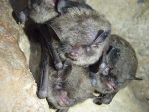 Bat Removal in Munster IN