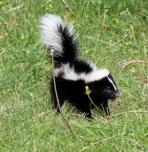 Skunk Removal in Millbrook Alabama