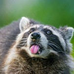 Raccoon Removal in Chesterton