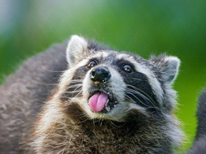 Raccoon Removal in Munster IN