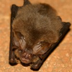 Bat Removal in Winfield
