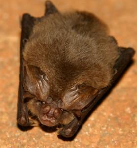 Bat Removal in Hammond IN