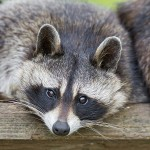 Windham NH raccoon removal