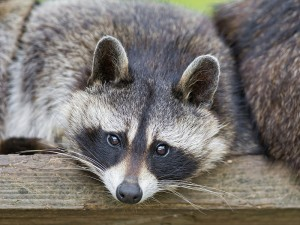 Pembroke NH Wildlife Removal Services