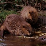 Beaver Removal in Windham NH
