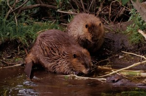 Muskrat Removal in Londonderry NH