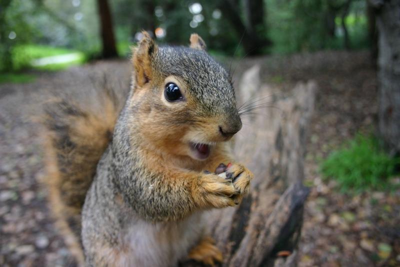 Flying Squirrel in Merrimack NH
