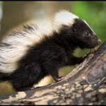 Skunk Removal in St.Clair County Illinois