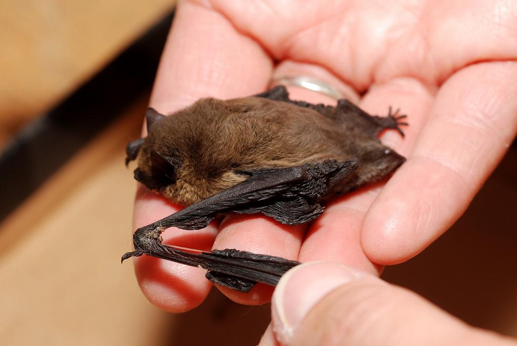 Bat Removal in Nashua