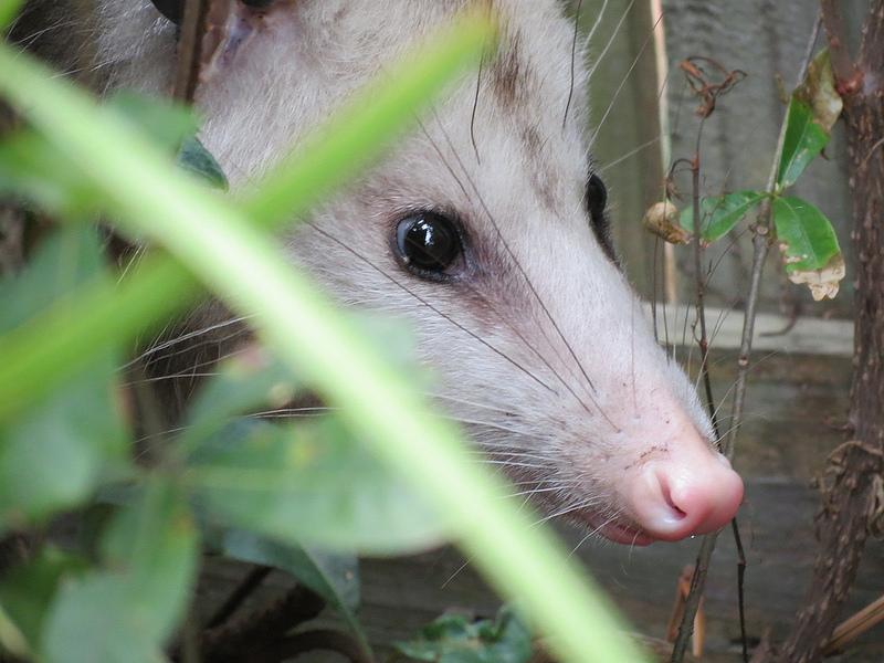 Nashua opossum removal