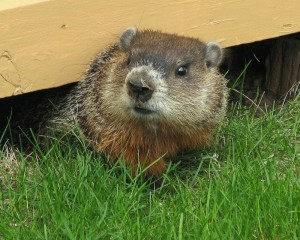 Groundhog Removal in Portsmouth NH