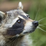raccoon removal in Salem NH