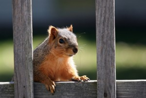 Squirrel Removal in East St.Louis Illinois