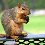 Squirrel Removal in O'Fallon Illinois