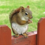 Squirrel Removal and Squirrel Trapping in Griffith IN