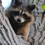 Raccoon Removal in Griffith IN