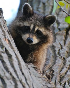 Raccoon Removal in Portsmouth NH